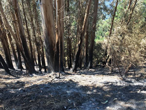 photo of eucalyptus trees still standing among burned-out                                            grass