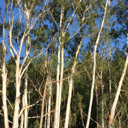 photo of eucalyptus-grove